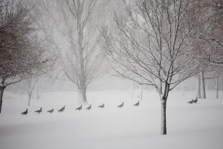 Geese winter