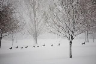 Geese winter